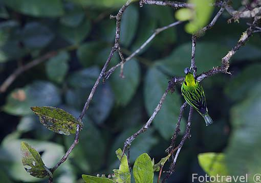 """Tangara florida"". Emerald tanager. Parque Nacional Braulio Carrillo. Bosque tropical lluvioso. Costa Rica"