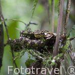 """Vibora Bacaraca. """"Bothriechis schlegelii"""". Parque Nacional Braulio Carrillo. Bosque tropical lluvioso. Costa Rica"""