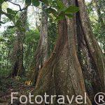 Arboles de gran porte creciendo junto a la playa Chiquita. Cerca de Puerto Viejo. Provincia de Limon. Costa Caribe. Costa Rica