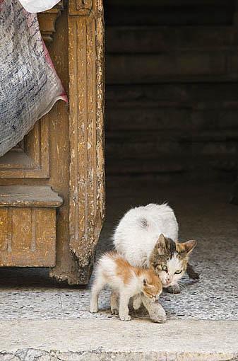 Gatos en la entrada del portal de un edificio. Ciudad de ALEJANDRIA. Egipto