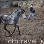 Jovenes caballos en las cuadras de un vecino de San Batolome de Pinares. Avila. Castilla y León. España