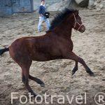 Jovenes caballos en las cuadras de un vecino de San Bartolome de Pinares. Avila. Castilla y León. España