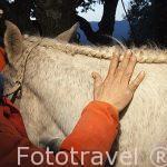 Ensillando los caballos en las cuadras de un vecino de San Batolome de Pinares. Avila. Castilla y León. España