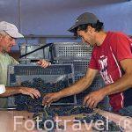 Despalillado de uvas. En las Bodegas Diaz Bayo. FUENTELCESPED. Burgos. Castilla y Leon. España