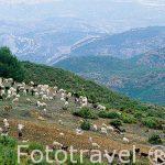 Rebaño de cabras en las proximidades de la Sierra de Tejo. Población cercana a CHERA. Valencia. Comunidad Valenciana. España