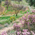 """Paisaje de almendros """"Prunus dulcis"""" y olivos Cerca del pueblo de CHERA. Valencia. Comunidad Valenciana. España"""