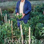 El Sr. Vicente Mancho Rodrigo en su tierra recogiendo pimientos. Cerca del pueblo de CHULILLA. Valencia. Comunidad Valenciana. España (M.R.043)