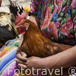 Señora con su gallo. Población de CHICHICASTENANGO. Guatemala. Centroamerica
