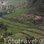 Campos de cultivos cerca de PANAJACHEL. Departamento de Sololá. Guatemala. Centroamerica