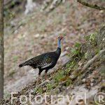 "Pavo ocelado ""Meleagris ocellata"". Ocellated turkey. Guatemala. Centroamerica"