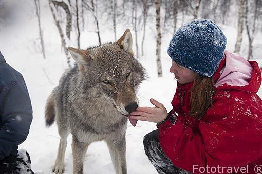 """Lobos """"Canis lupus"""" y visitantes en el Polar Zoo de Bardu. Al sur de Tromso. Noruega"""