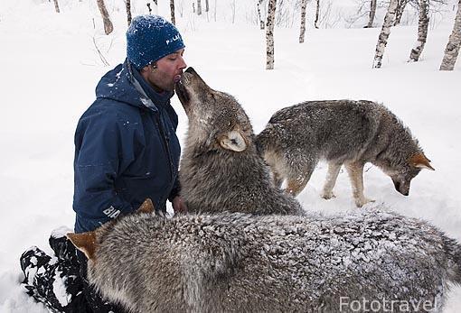 """El guia Stig y lobos """"Canis lupus"""" en el Polar Zoo de Bardu. Al sur de Tromso. Noruega"""