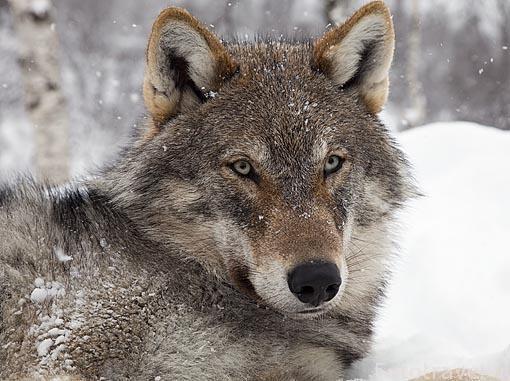 """Lobo """"Canis lupus"""" el Polar Zoo de Bardu. Al sur de Tromso. Noruega"""