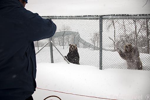 Osos pardos llamados Troll y Bella. Polar Zoo de Bardu. Al sur de Tromso. Noruega