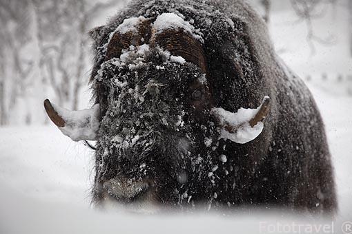 """Buey almizclero o almizclado """"Ovibos moschatus"""". Polar Zoo en Bardu. Al sur de Tromso. Noruega"""