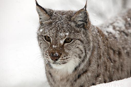 """Lince boreal """"Lynx lynx"""". Polar Zoo en Bardu. Al sur de Tromso. Noruega"""