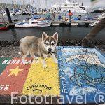 Perrito husky y diversas pintadas en el suelo realizadas por marineros que amarran sus barcos. Puerto deportivo de Horta. Isla de FAIAL. Azores. Portugal