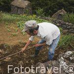 Agricultor y cultivando segun metodos tradicionales. Quinta do Martelo. (Sao Mateus). Angra do Heroismo. Isla de TERCEIRA