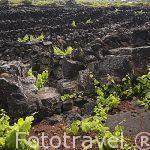 Viñedos creciendo sobre roca volcanica basaltica Patrimonio de la Unesco. Isla de PICO.