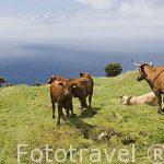 Vista panoramica desde lo alto de la montaña (2351 mts, la montaña mas alta de Portugal) y ganado vacuno. Isla de PICO