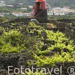 El molino de Frade, de epoca flamenca, entre viñedos y roca volcanica (Patrimonio de la Unesco). Isla de PICO.