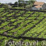 Viñedos entre muros de roca volcanica (Patrimonio de la Unesco). Isla de PICO. Azores