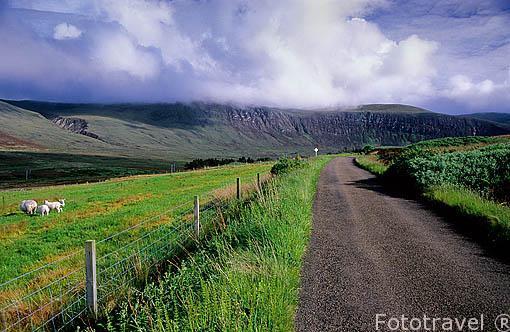 Ovejas y carretera solitaria en la isla de HOY. Islas Orcadas. (Orkney). Norte de Escocia.