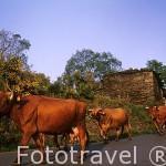 Vacas al atardecer en el pueblo de SALCEDO. Oscos. Asturias. España