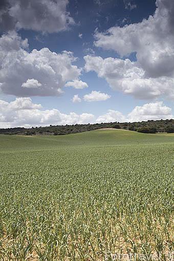 Campos de ajos. Cerca de SAN CLEMENTE. Cuenca. Castilla La Mancha. España - Spain