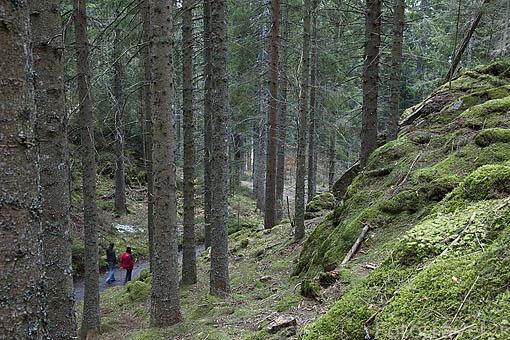 Bosque de abetos en Silberberweg. Cerca de TITISEE - Neustadt. Zona de la Selva Negra. Alemania. Germany