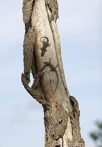 Lagartija (diurna) y salamanquesa (nocturna) sobre el tronco de un árbol. España