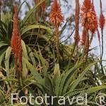 Flores de Aloe Vera.