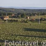 Campos de cultivo de tabaco cerca de JARANDILLA DE LA VERA. Provincia de Caceres. Extremadura. España - Spain