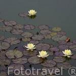 Nenufares en un estanque. Jardines del Partal. La Alhambra,UNESCO. Ciudad de GRANADA. Andalucia. España