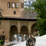 Gato. Detras el Palacio del Partal. La Alhambra,UNESCO. Ciudad de GRANADA. Andalucia. España