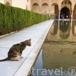 Gato junto al estanque del Patio de Arrayanes. Palacio de Comares. Palacios Nazaries. La Alhambra, UNESCO. Ciudad de GRANADA. Andalucia. España