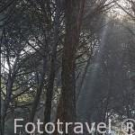 Bosque de pinares en la sierra de Andujar. Jaen. Andalucia. España
