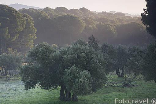 Pinares y encinas en Sierra de Andujar. Jaen. Andalucia. España