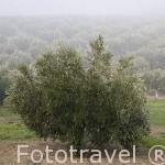 Olivos de la variedad picual cerca de ARJONA. Jaen. Andalucia. España