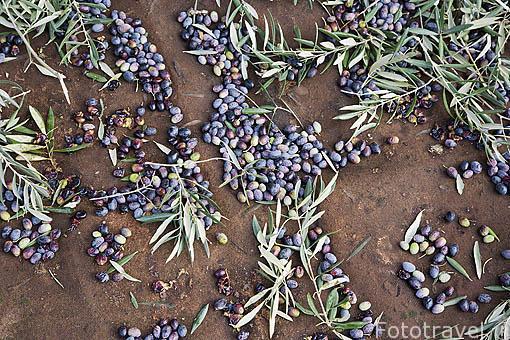 Red con aceitunas de la variedad picual. JAEN. Andalucia. España
