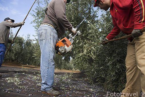 Cuadrilla de agricultores bareando un olivo. Cerca de ANDUJAR. Jaen. Andalucia. España