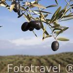Aceitunas, variedad picual. Cerca de ANDUJAR. Jaen. Andalucia. España