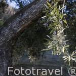Aceitunas, variedad picual. Olivos cerca de ANDUJAR. Jaen. Andalucia. España