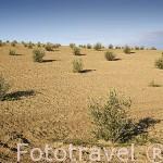 Plantación de jovenes olivos cerca de MENGIBAR. Jaen. Andalucia. España