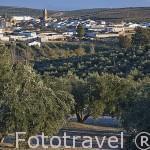 Olivos de la variedad picual. Al fondo el pueblo de CAZALILLA. Jaen. Andalucia. España