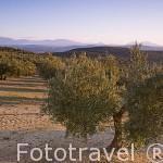 Olivos de la variedad picual (aceite) en la zona de VILLANUEVA DE LA REINA. Jaen. Andalucia. España