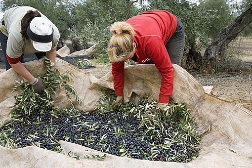 Mujeres organizando las redes con aceitunas, variedad picual, para subirlos al remolque. Cerca de VILLANUEVA DE LA REINA. Jaen. Andalucia. España
