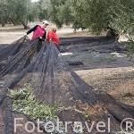 Mujeres cargando una red con aceitunas. Cerca de VILLANUEVA DE LA REINA. Jaen. Andalucia. España