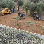 Cuadrilla de trabajadores trabajando un campo de olivos en la Almazara Galgon 99 SL. Termino de VILLANUEVA DE LA REINA. Jaen. Andalucia. España