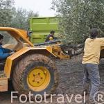 Maquina especial Buggie para barear el olivo, proceso intensivo. Cerca de VILLANUEVA DE LA REINA. Jaen. Andalucia. España